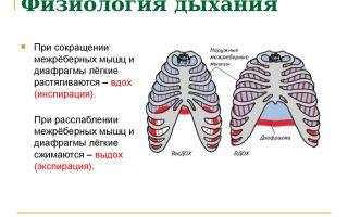 Физиология дыхания человека